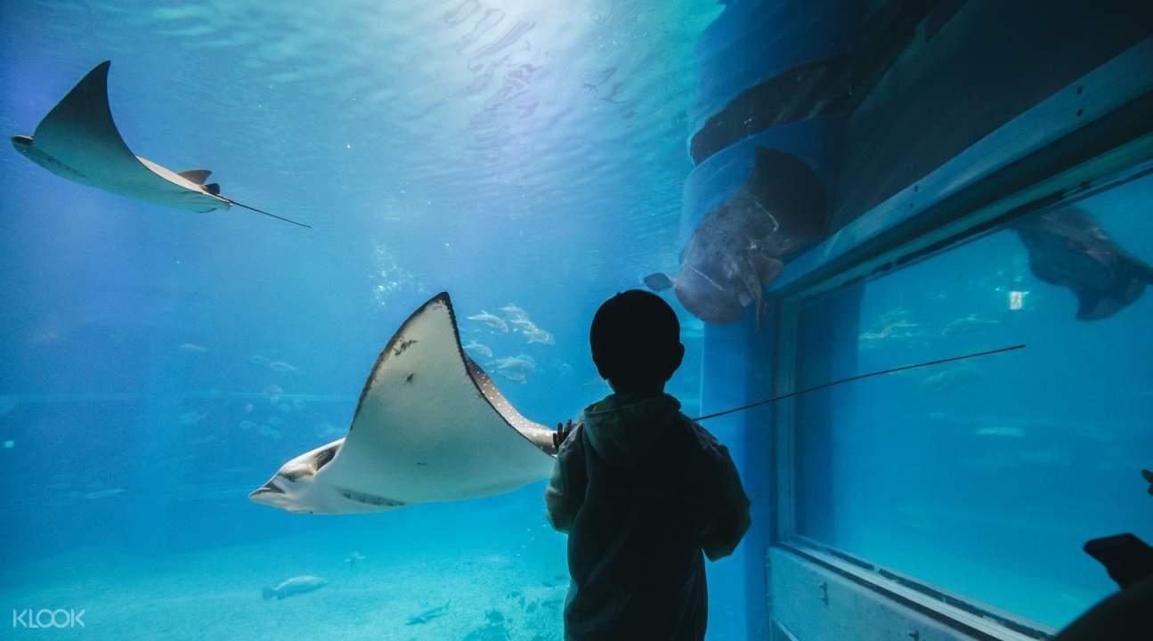 a kid looking at stingrays inside the Osaka Aquarium Kaiyukan